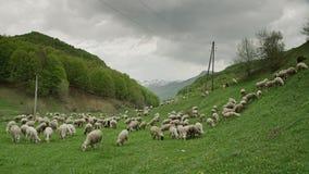 背景牧群山绵羊 股票录像