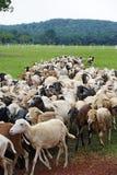 背景牧群山绵羊 免版税库存图片