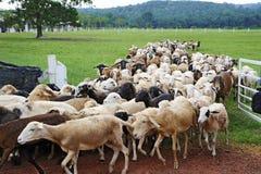 背景牧群山绵羊 免版税库存照片