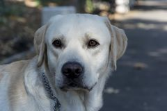 背景狗灰色拉布拉多小狗后方猎犬查阅 爱犬 公园结构 免版税库存图片