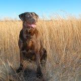 背景狗灰色拉布拉多小狗后方猎犬查阅 图库摄影