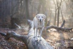 背景狗灰色拉布拉多小狗后方猎犬查阅 免版税库存照片