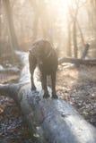 背景狗灰色拉布拉多小狗后方猎犬查阅 免版税图库摄影