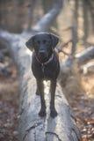 背景狗灰色拉布拉多小狗后方猎犬查阅 库存照片