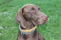 背景狗狩猎拉布拉多空白黄色 免版税库存照片
