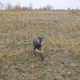 背景狗狩猎拉布拉多空白黄色 免版税库存图片