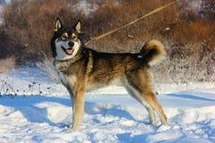 背景狗狩猎拉布拉多空白黄色 图库摄影