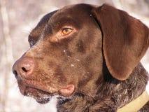 背景狗狩猎拉布拉多空白黄色 库存图片