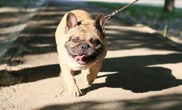 背景狗头查出的微笑的whiete 免版税库存照片