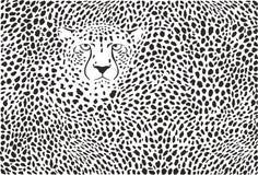 背景猎豹皮肤和头 库存照片