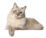 背景猫前面西伯利亚白色 库存照片