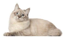 背景猫前面西伯利亚白色 免版税库存照片