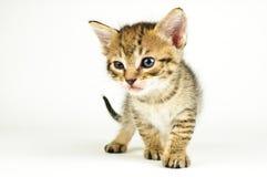 背景猫查出的白色 免版税库存照片