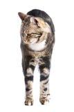 背景猫欧洲前白色 免版税库存图片