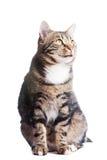 背景猫欧洲前白色 免版税库存照片