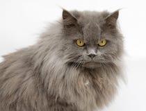 背景猫滑稽的白色 库存照片