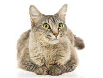 背景猫la电烫白色 免版税库存照片
