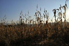 背景玉米夜间域小山 图库摄影