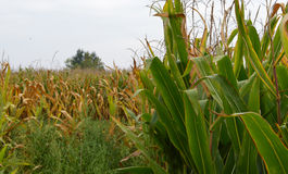 背景玉米夜间域小山 库存照片