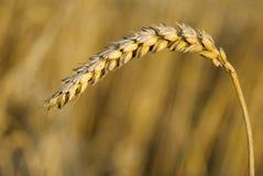 背景玉米本质 库存照片