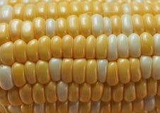 背景玉米棒玉米拍摄了白色 库存照片