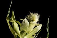 背景玉米棒玉米拍摄了白色 免版税图库摄影