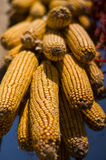 背景玉米棒玉米拍摄了白色 图库摄影