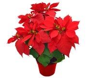 背景球圣诞节花玻璃查出一品红红色白色 库存照片