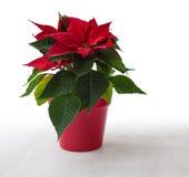 背景球圣诞节花玻璃查出一品红红色白色 免版税库存照片