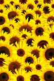 背景瓣向日葵黄色 免版税库存图片