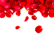 背景瓣红色玫瑰白色 图库摄影