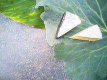 背景用在圆白菜叶子的青纹干酪 库存图片