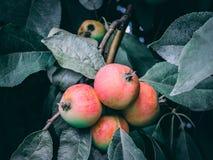 背景用在树的成熟红色苹果 apples crate organic 从事园艺和收获概念 免版税库存图片