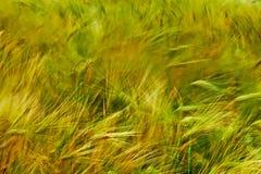 背景用麦子2 库存图片