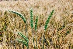 背景用麦子10 库存照片