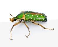 背景甲虫东部花白色的非洲 免版税库存图片