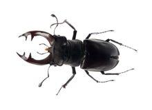 背景甲虫鹿白色 库存照片