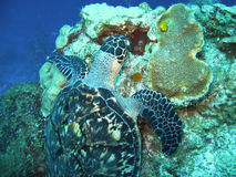 背景男孩潜水查出屏蔽水肺微笑的白色 巴伊亚巴西coroa海岛海龟vermelha 免版税图库摄影