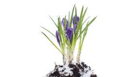 背景番红花查出的春天白色 免版税库存图片