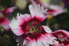 背景白色和黑暗的桃红色开花的花的04个特写镜头图象 免版税库存照片