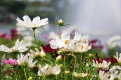 背景白色波斯菊花和太阳光66 库存图片