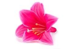 背景百合粉红色白色 免版税图库摄影