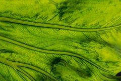 背景的叶子纹理 库存图片