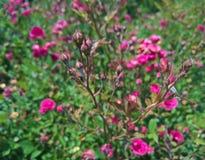 背景的夏天玫瑰色芽 免版税库存照片