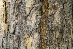 背景的杉木吠声纹理宏观射击 免版税库存图片