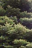 背景的杉树关闭 库存图片