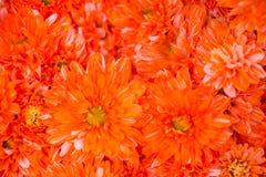 背景的橙色花 库存照片