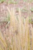背景的热带草 库存图片