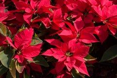 背景的红色一品红花 库存照片