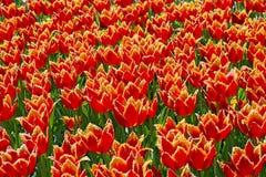背景的红色和黄色郁金香 图库摄影